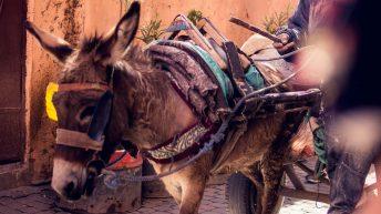 Zugesel in den Gassen - Marrakesch